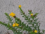 hairy puccoon - Port Franks 2