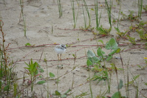 Piping Plover -July-2014 167